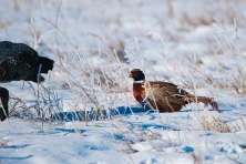 Pheasants on Kara Creek