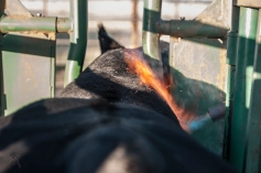 CSC Bull Burning
